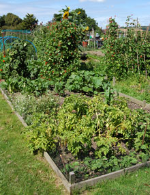 Raised beds in an allotment.