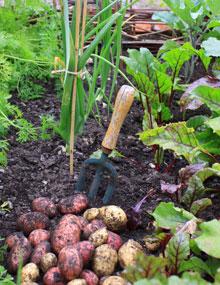 A fresh crop of potatoes