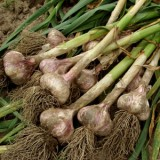 ProfileVeg_Garlic