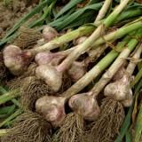 ProfileVeg_Garlic