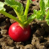 ProfileVeg_Radishes