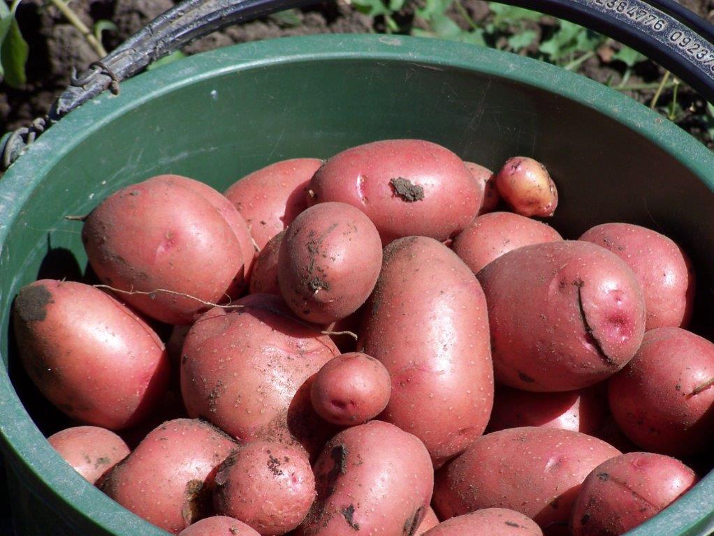 Potato Day 2015